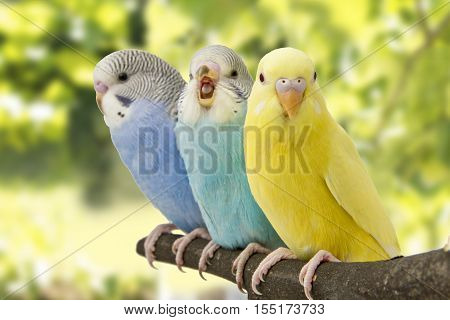 three budgies are in the roost on the green background