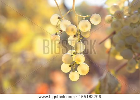 sunlight shining  through the bunch of grapes