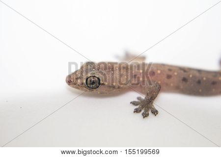 Closeup photo of gecko on white background. Baby lizard macro photo with eyes and forward paws. Cute little animal portrait. Exotic reptile close-up image. Biological illustration with text place