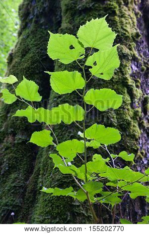 Juvenile linden tree branch with leaves closeup and old one in background moss wrapped, Bialowieza Forest, Poland, Europe