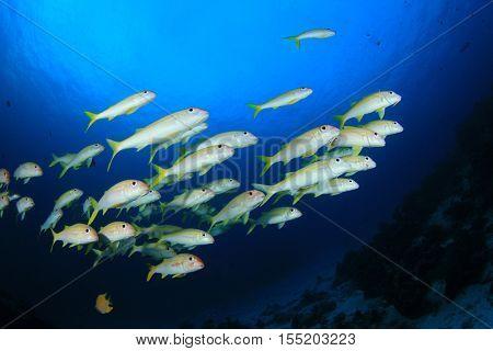 Fish school yellow fish blue water goatfish amd coral reef