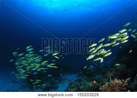 Fish school yellow fish blue water goatfish amd coral reef