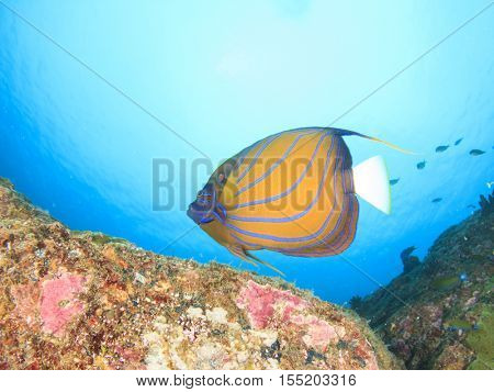 Ringed Angelfish fish in sea