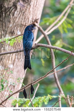 Beautiful of Black Bird Greater Racket-tailed Drongo