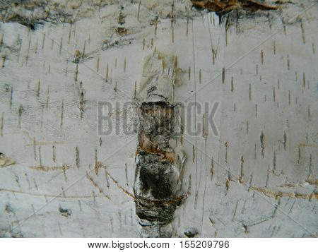 Thick white, brown and gray bark of white birch