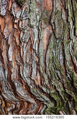 Tree bark texture closeup selective focus. Brown bark wood use as natural background. Old bark. Oak. Ash. Birch. Poplar. Apple tree. Cherry. Moss. Pests. Bark. Protection. Coating. Hornbeam. The slit.