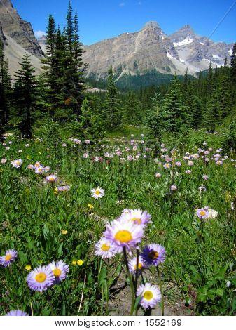 Fleabane Of Molar Meadows, Banff National Park, Canada