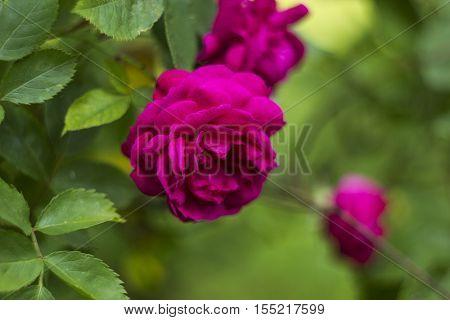 Shrub roses pink. Pink roses flowers in garden