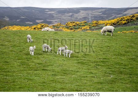 Sheep herd with baby sheep farm on green gras in scotland 2
