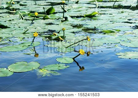 Yellow water lilies in the river. Spatter-dock. Nenuphar