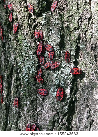soldiers bugs crawling on tree bark on a sunny day in autumn