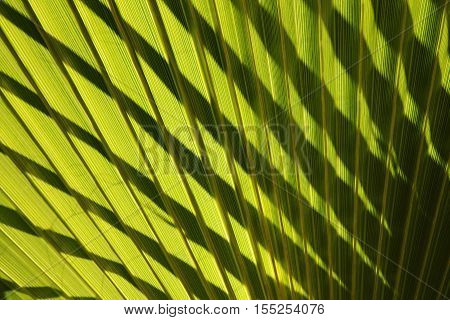 Leaf Of Fan Palm Tree With Shadows. Close Up.