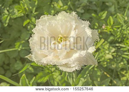 White Frilly Tulip