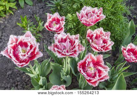 Fringed  Tulip Queensland
