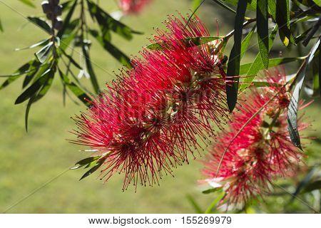 Callistemon Citrinus - Crimson Red Bottlebrushes