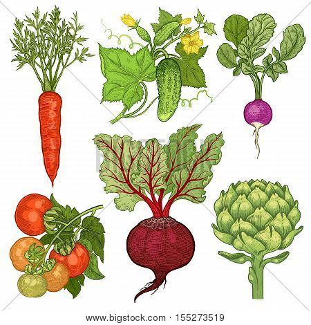 Vegetables set. Cucumber tomato radish carrots beets artichoke. Vector illustration. Hand drawing color isolated on white background.