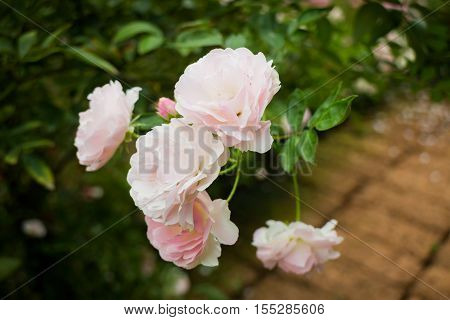 Pink roses bush in the garden stock photo