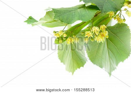 Blossoming twig of limetree or linden tree isolated on white background