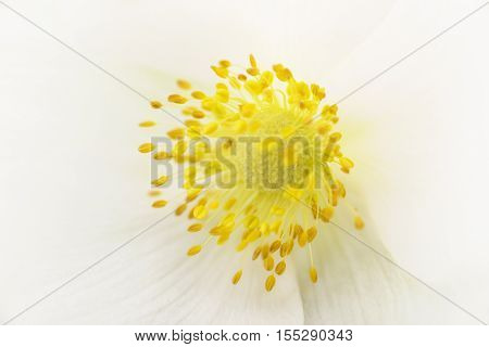 Closeup of white flower with yellow pestils. Nature background.