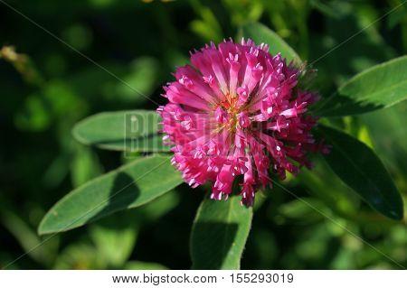 clover, red, trifolium, purple, pratense, summer, closeup, nature, green