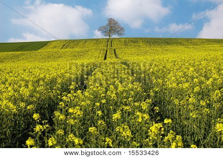 Rape-seed field leading to a tree.