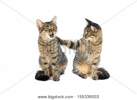 two beautiful European cats on a white background