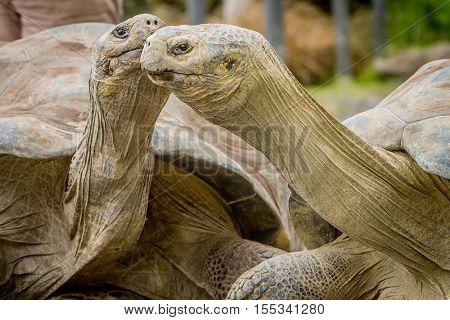Giant grey tortoise standing on tropical island