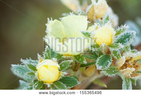 potentilla bush with yellow frost flowers in hoarfrost close up