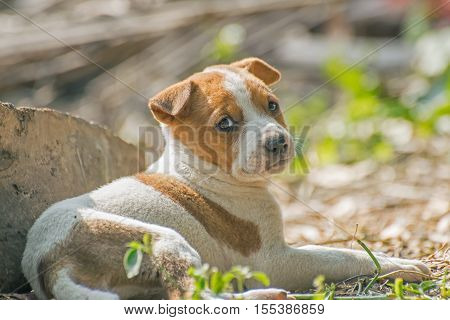 Unhappy Puppy juvenile dog lying down on ground. Stock image of moody dog shot at Kolkata Calcutta West Bengal India