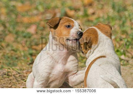 Beautiful Puppies juvenile dogs playing together and enjoying together. Stock image shot at Kolkata Calcutta West Bengal India