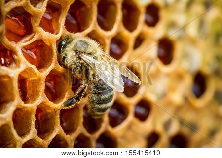 Closeup of bees in a beehive on honeycomb