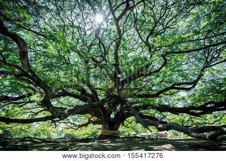Large Samanea saman tree with branch in Kanchanaburi Thailand. the big tree in thailand