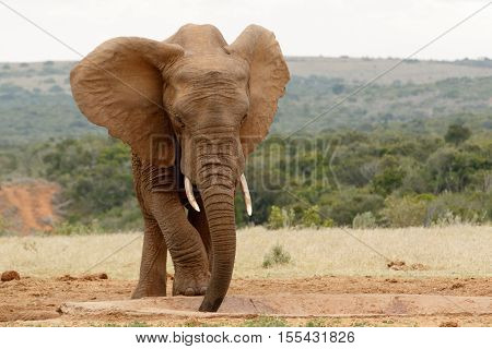 Bush Elephant Standing And Slurping Up The Water