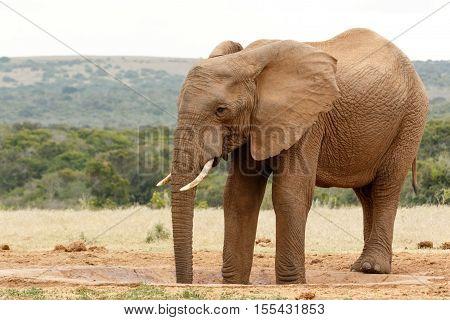 Two Legs In The Watering Hole -  Bush Elephant