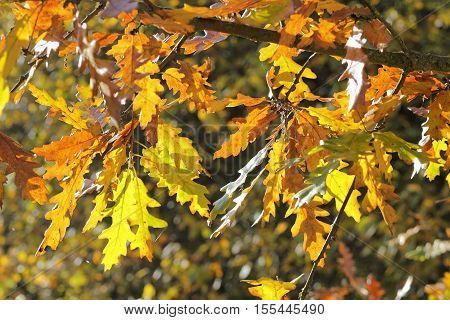 Contre-jour photo of colorful fall leaves of an oak - selected focus; narrow depth of field