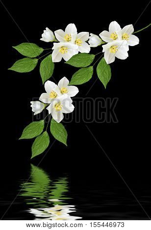 branch of jasmine flowers isolated on black background