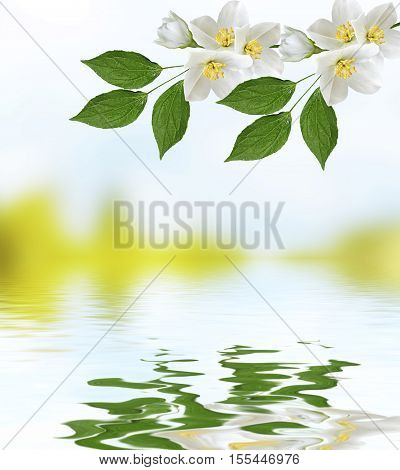 White jasmine branch of delicate spring flowers