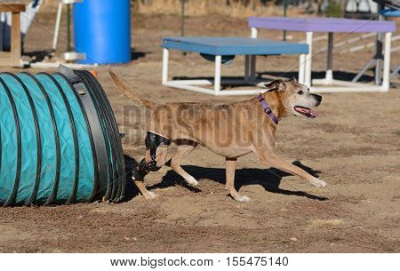 Happy mixed breed boxer dog with orthotic stifle brace exiting tunnel and able to play despite CCL rupture