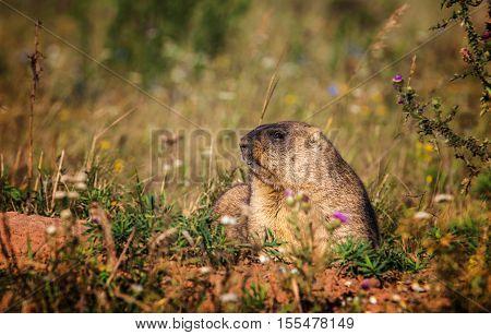 Marmot. Yellow-bellied marmots in Tatarstan, nature, wild
