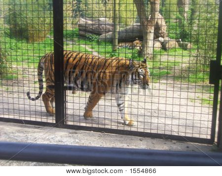 Tiger Pacing The Fence