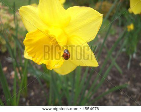 Ladybird On A Daffodill