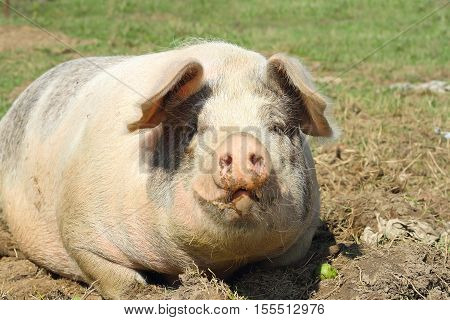 closeup of huge lazy sow standing on mud
