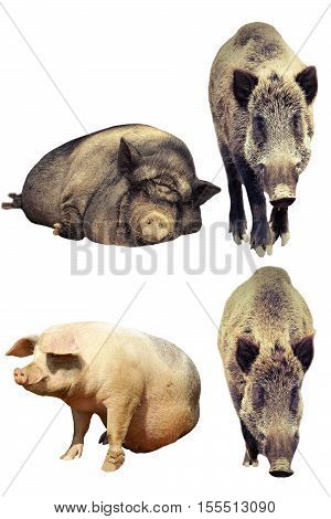 differences between domestic pig and wild boar ( Sus scrofa vs domesticus ) isolated animals