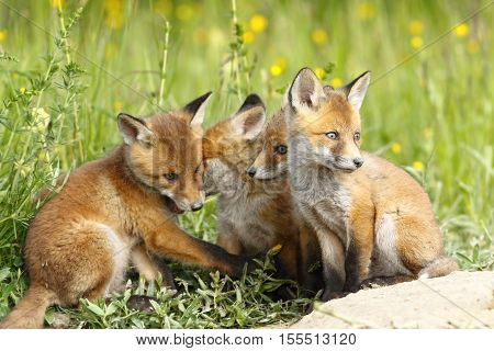 family of young red foxes ( Vulpes vulpes ) playing near the den cute cubs
