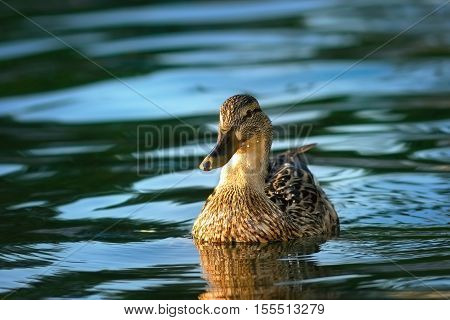 female mallard duck swimming on blue waters of the lake ( Anas platyrhynchos )
