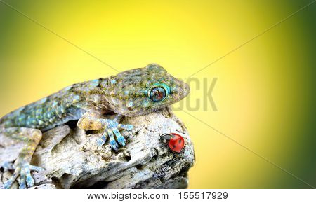 Gecko and ladybird close up with yellow background
