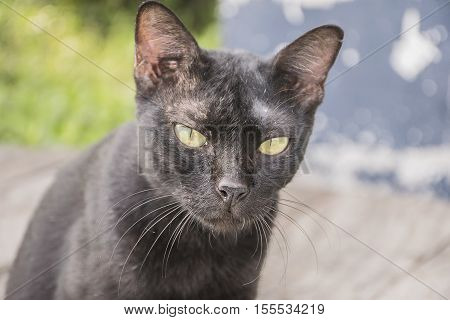 dirty black cat. animals is lesion on face.
