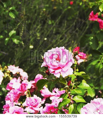 pink roses on a green meadow background selective focus