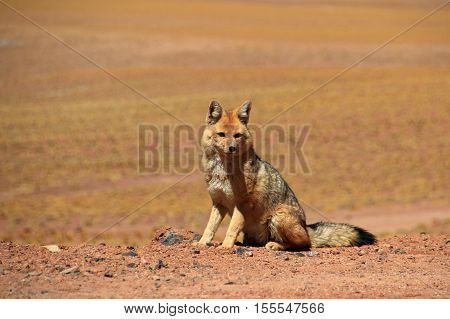 Andean fox, lycalopex culpaeus, also known as culpeo, zorro culpeo or andean wolf. Near Paso Sico, Atacama desert, Chile