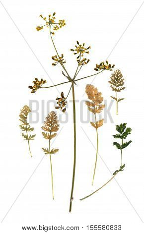 Dried Fall Leaves Of Feather Grass Plants Isolated